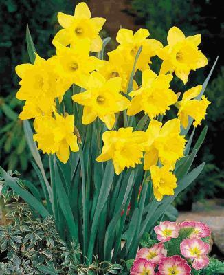 feeding-spring-daffodils-hyacinths-and-crocus-149111
