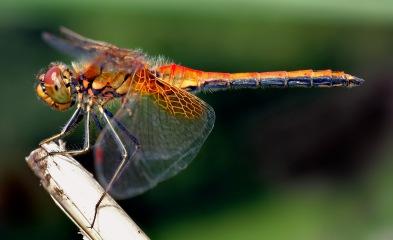 dragon-fly-1